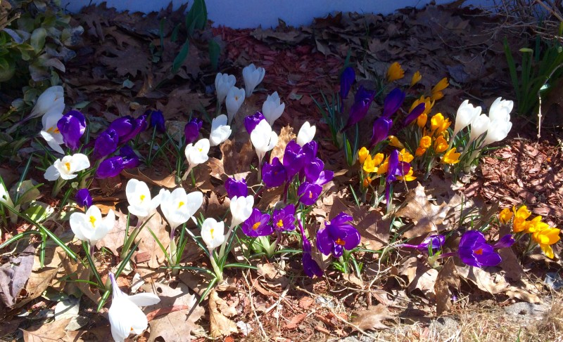 Crocuses blooming in my yard.